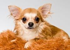 Chihuahua in studio royalty-vrije stock foto's