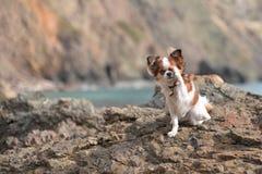Chihuahua su una roccia immagine stock libera da diritti