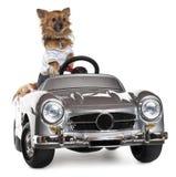 Chihuahua in su vestita che guida convertibile immagine stock