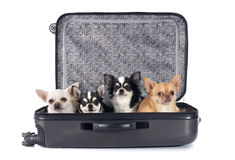 Chihuahua and suitcase Royalty Free Stock Image