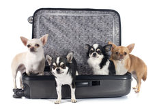 Chihuahua and suitcase Royalty Free Stock Photography