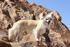 Chihuahua sulla roccia Fotografia Stock