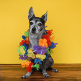 Chihuahua stock photos