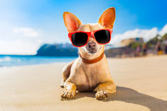 Chihuahua summer dog Stock Photography