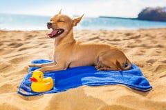 Chihuahua summer dog Stock Photo