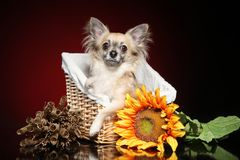 Chihuahua with sunflower in a wicker basket stock image