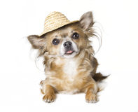 Chihuahua with sunhat Stock Photography