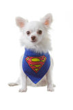 Chihuahua superdog Royalty Free Stock Photo