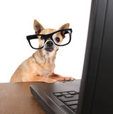 A chihuahua surfing the internet on a laptop stock photos