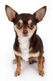 Chihuahua sveglia Fotografia Stock