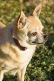 Chihuahua sveglia Immagini Stock