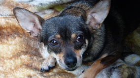 Chihuahua sveglia in autunno Fotografia Stock Libera da Diritti