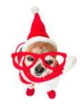 Chihuahua sveglia del cane in costume del Babbo Natale con i vetri rossi sugli occhi su fondo bianco isolato Nuovo anno cinese 20 Immagine Stock