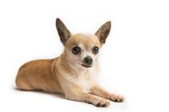 Chihuahua sveglia isolata su fondo bianco Immagine Stock
