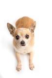 Chihuahua sveglia isolata su fondo bianco immagine stock libera da diritti
