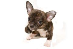 Chihuahua szczeniak Fotografia Stock