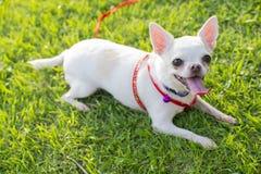 Chihuahua szczeniak Zdjęcie Royalty Free