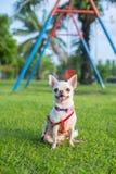 Chihuahua szczeniak Obrazy Stock