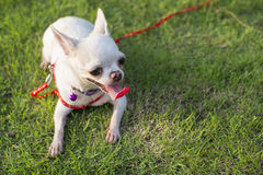 Chihuahua szczeniak Fotografia Royalty Free