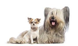 Chihuahua szczeniak 6 miesięcy starzy i Skye Terrier Zdjęcia Royalty Free