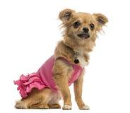 Chihuahua szczeniak jest ubranym różową koszula (6 miesięcy starych) Fotografia Stock