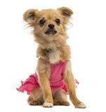 Chihuahua szczeniak jest ubranym różową koszula (6 miesięcy starych) Zdjęcie Royalty Free