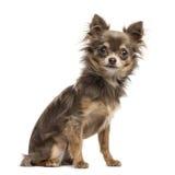 Chihuahua szczeniak, 6 miesięcy starych, odosobniony na bielu Zdjęcie Stock