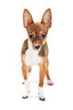 Chihuahua szczeniak odizolowywający na bielu Zdjęcia Royalty Free
