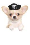 Chihuahua szczeniak w karnawałowym pirata kapeluszu Obraz Stock