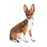 Chihuahua szczeniak Z Dużymi ucho Obraz Stock