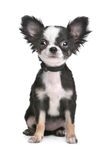 chihuahua szczeniak z włosami długi Obraz Royalty Free