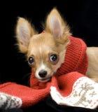 chihuahua szczeniaka czerwieni szalik Zdjęcie Stock