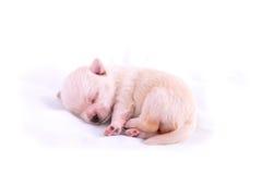 chihuahua szczeniaka dosypianie Zdjęcia Royalty Free