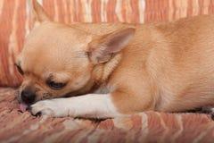 Chihuahua szczeniaka lying on the beach na kanapie, 4 miesiąca starej kobiety Obraz Royalty Free