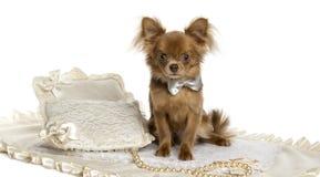 Chihuahua szczeniaka obsiadanie, jest ubranym łęku krawat, 6 miesięcy starych Obraz Royalty Free