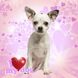 Chihuahua szczeniaka obsiadanie na galanteryjnym tle Zdjęcia Royalty Free