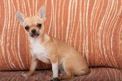 Chihuahua szczeniaka obsiadanie na kanapie, 4 miesiąca starej kobiety Obraz Stock