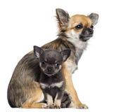 Chihuahua szczeniaki, 9 miesięcy starzy i 7 tygodni starych, Zdjęcia Stock