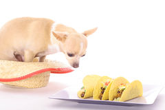Chihuahua tacos. Photo of a chihuahua tacos Stock Image