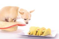 Chihuahua tacos Stock Image