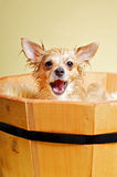 Chihuahua talking Royalty Free Stock Photography