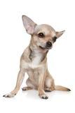 chihuahua target1068_1_ pionowego biel Obrazy Royalty Free