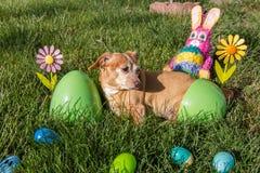 Chihuahua/tax som är klar för easter Arkivfoto
