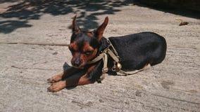 Chihuahua teacup Zdjęcia Stock