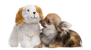 Chihuahua with teddy bear, isolated Stock Photo