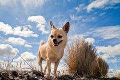 Chihuahua tegen bewolkte hemel stock foto