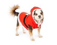 Chihuahua-Terrier-Kreuz in Santa Suit Lizenzfreie Stockfotografie