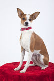 Chihuahua Terrier Mix Dog Stock Photo