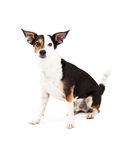Chihuahua and Terrier Mixed Breed Dog Sitting Stock Photos