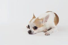 Chihuahua Thailand allein lizenzfreie stockbilder